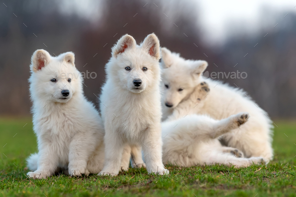 Puppy cute White Swiss Shepherd dog portrait on meadow - Stock Photo - Images