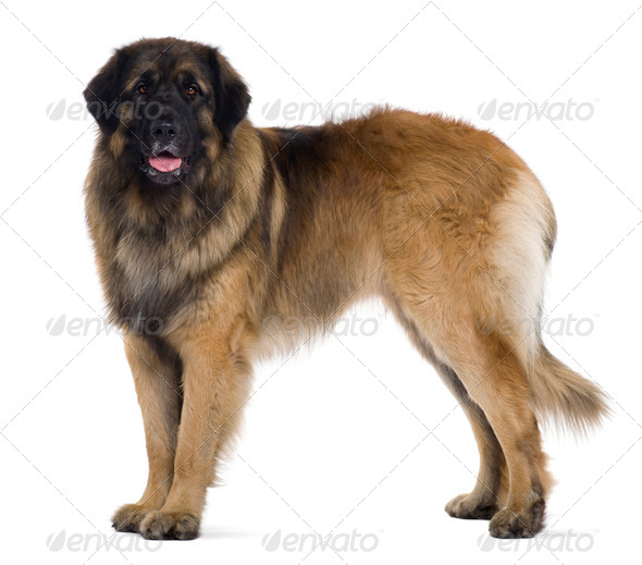 Leonberger dog, 2 years old, standing in front of white background - Stock Photo - Images