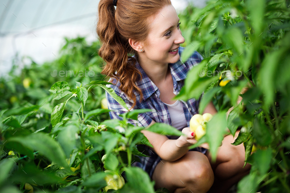 Woman working in a tomato greenhouse - Stock Photo - Images