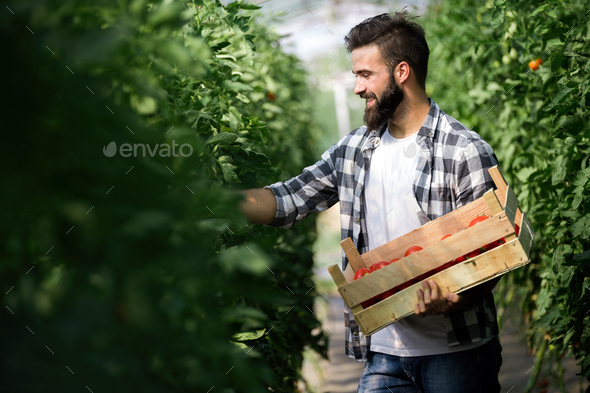 Caucasian farmer picking fresh tomatoes from his hothouse - Stock Photo - Images