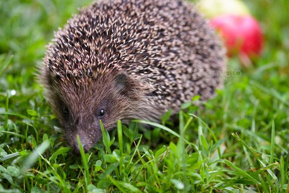 Hedgehog, (Scientific name: Erinaceus europaeus) wild, native, E - Stock Photo - Images