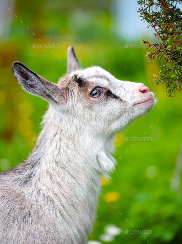 Portrait a white baby goat on green lawn - Stock Photo - Images
