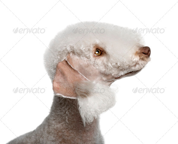 Bedlington terrier, 2 years old, in front of white background - Stock Photo - Images