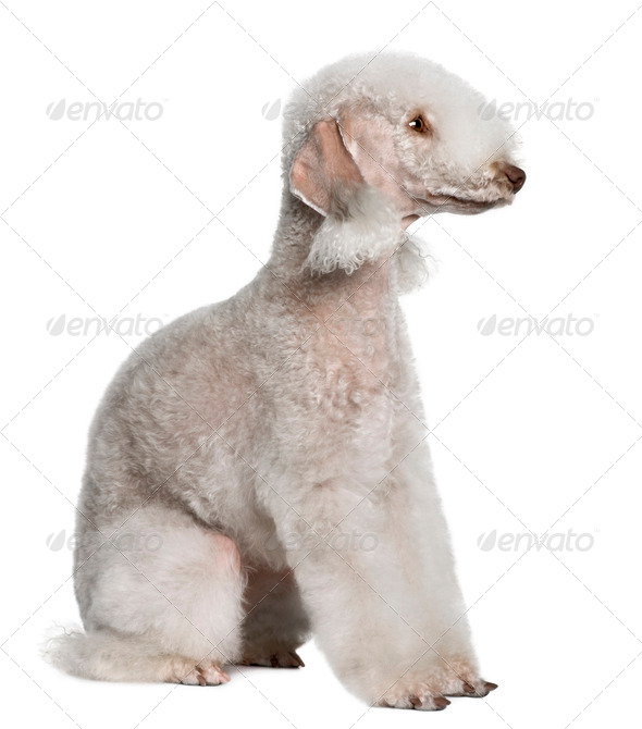 Bedlington terrier, 2 years old, sitting in front of white background - Stock Photo - Images