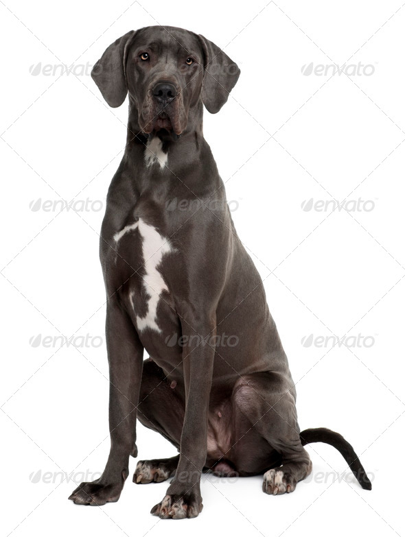 Great Dane, 2 years old, sitting in front of white background - Stock Photo - Images