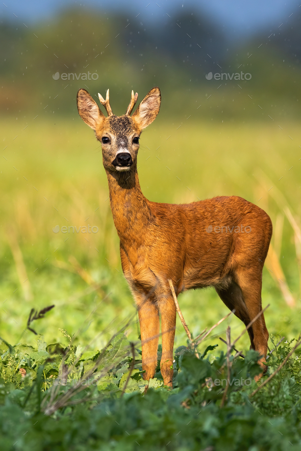 Young roe deer buck sunkissed in the rainy weather in sunny evening in summer - Stock Photo - Images