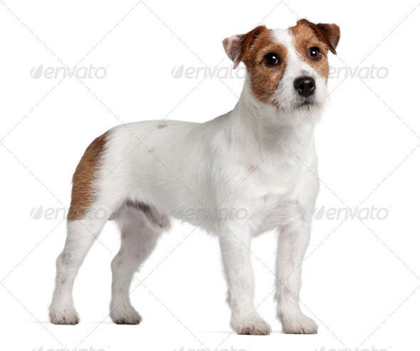 Jack Russell Terrier, 15 months old, standing in front of white background - Stock Photo - Images