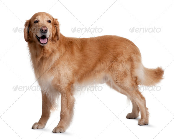 Hovawart dog, 7 years old, standing in front of white background - Stock Photo - Images