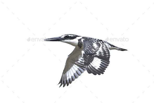 Pied kingfisher (Ceryle rudis) - Stock Photo - Images