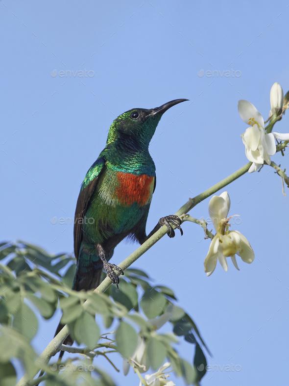 Beautiful sunbird (Cinnyris pulchella) - Stock Photo - Images