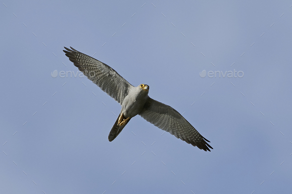 Grey kestrel (Falco ardosiaceus) - Stock Photo - Images