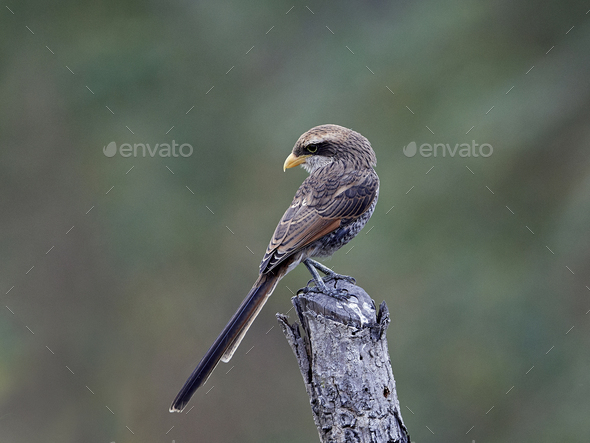 Yellow-billed shrike (Corvinella corvina) - Stock Photo - Images