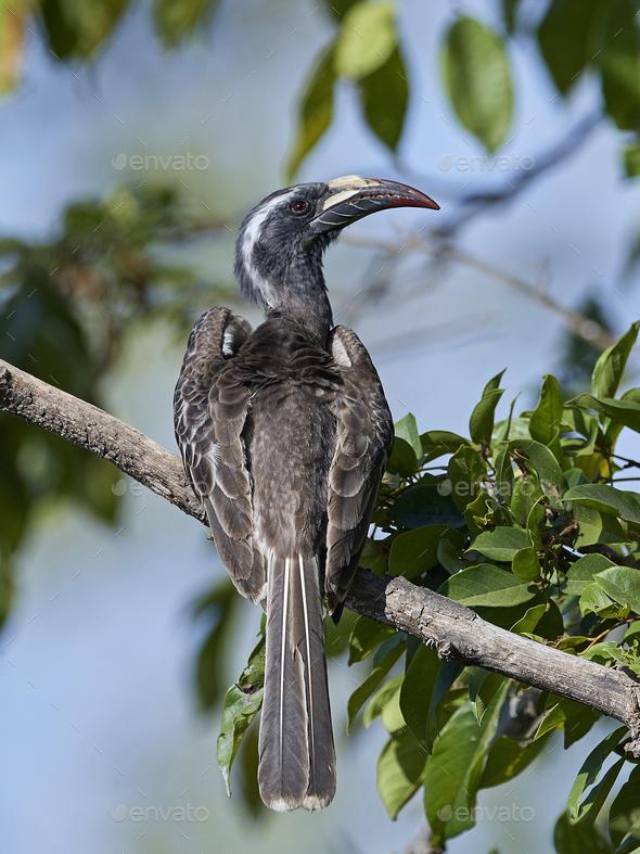 African grey hornbill (Lophoceros nasutus) - Stock Photo - Images