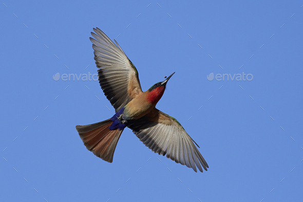 Red-throated bee-eater (Merops bulocki) - Stock Photo - Images
