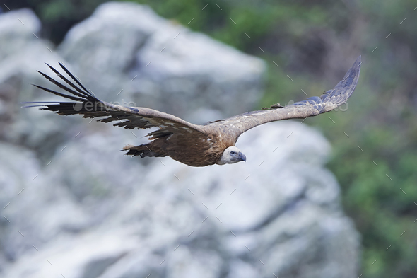 Griffon vulture (Gyps fulvus) - Stock Photo - Images