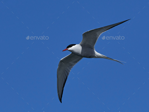 Arctic tern (Sterna paradisaea) - Stock Photo - Images