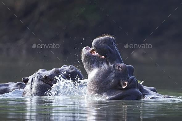 Common hippopotamus (Hippopotamus amphibius) - Stock Photo - Images