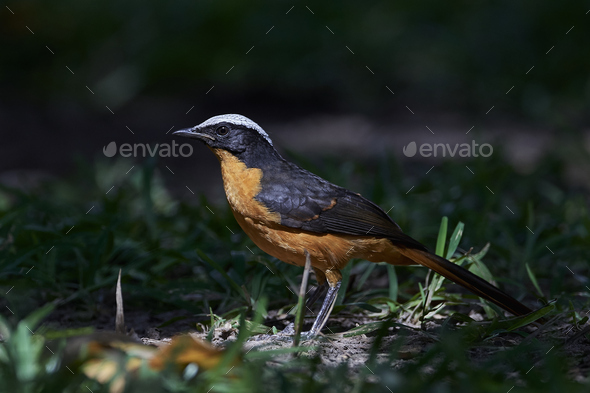 White-crowned robin-chat (Cossypha albicapilla) - Stock Photo - Images