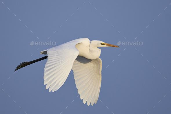 Great egret (Ardea alba) - Stock Photo - Images