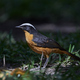 White-crowned robin-chat (Cossypha albicapilla) - PhotoDune Item for Sale