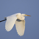 Great egret (Ardea alba) - PhotoDune Item for Sale