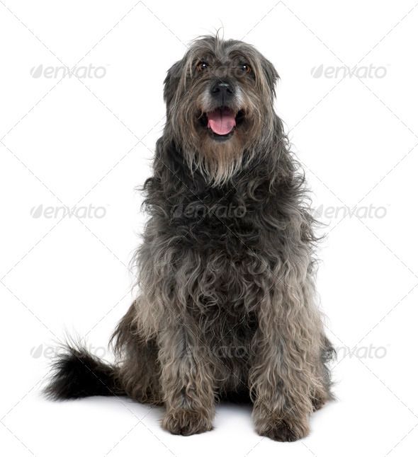 Catalan Sheepdog, 12 years old, sitting in front of white background - Stock Photo - Images