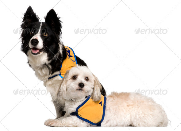 Coton de Tulear and a Border Collie sitting in front of white background - Stock Photo - Images