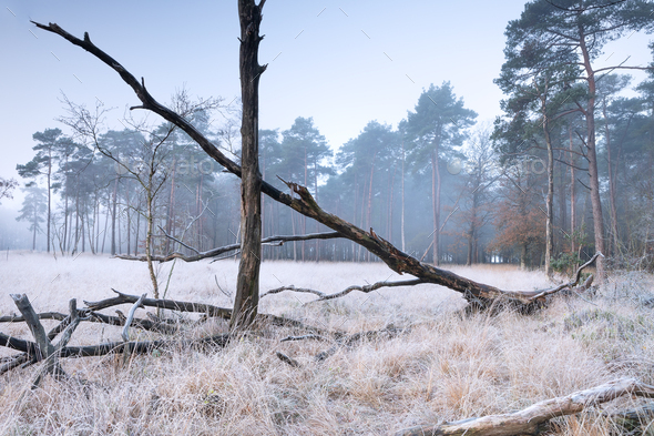 fallen trees on white frosted forest meadow - Stock Photo - Images