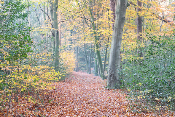 path in autumn orange uellow  forest - Stock Photo - Images