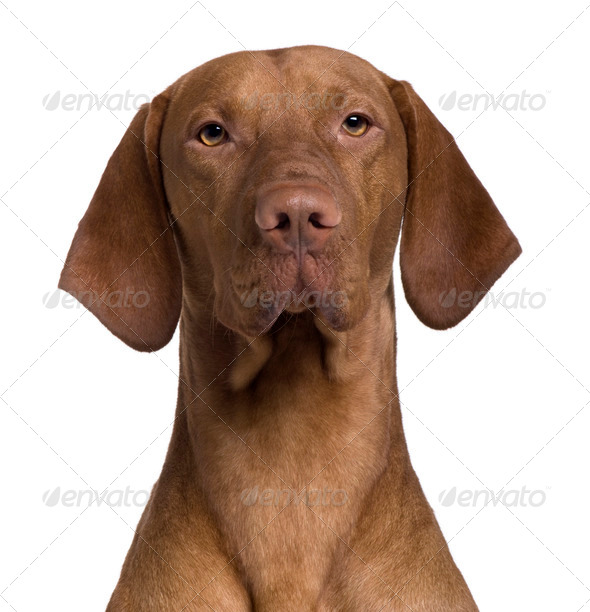Vizla Dog, 17 months old, sitting in front of white background - Stock Photo - Images