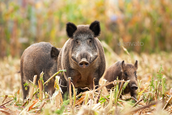 Strong wild boar leading his family while looking for food - Stock Photo - Images
