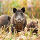 Strong wild boar leading his family while looking for food - PhotoDune Item for Sale