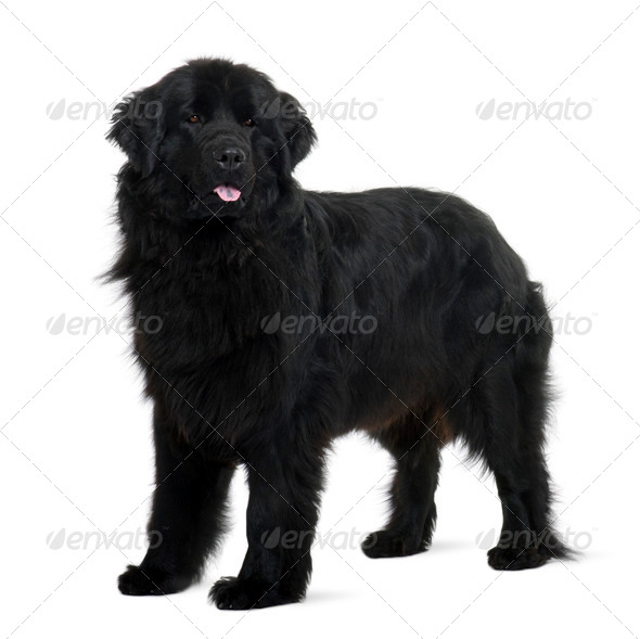 Newfoundland puppy, 2 years old, standing in front of white background - Stock Photo - Images