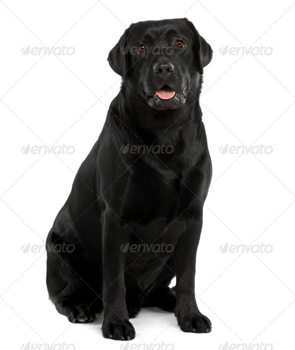 Black Labrador, 22 months old, sitting in front of white background - Stock Photo - Images