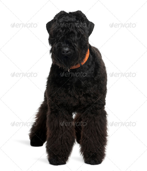 Black Russian Terrier, 7 months old, standing in front of white background - Stock Photo - Images