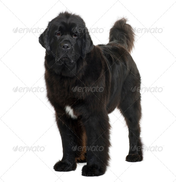 Newfoundland dog, 16 months old, standing in front of white background - Stock Photo - Images