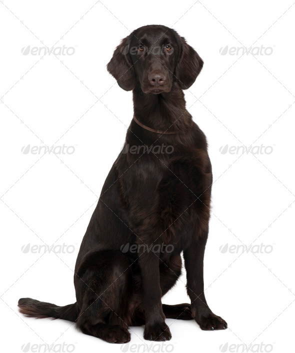 Flat-Coated Retriever, 9 months old, sitting in front of white background - Stock Photo - Images