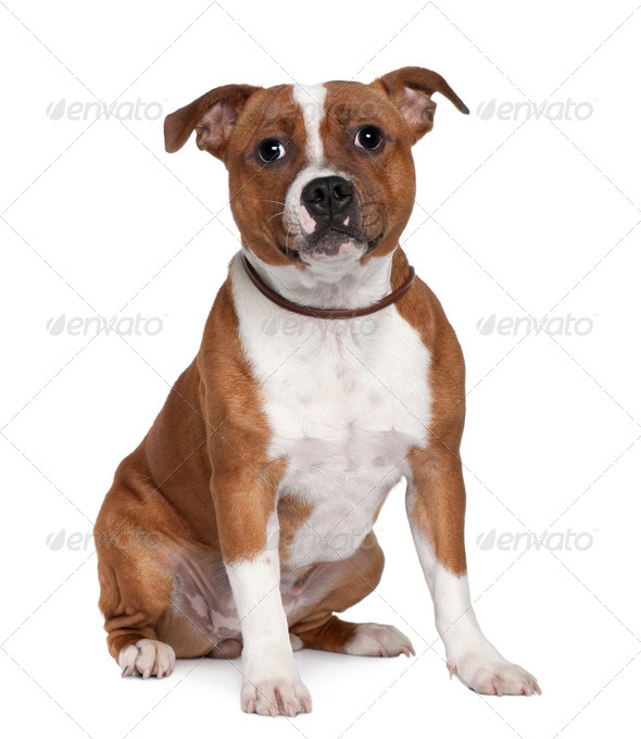 Stafford Bull Terrier, 8 months old, sitting in front of white background - Stock Photo - Images