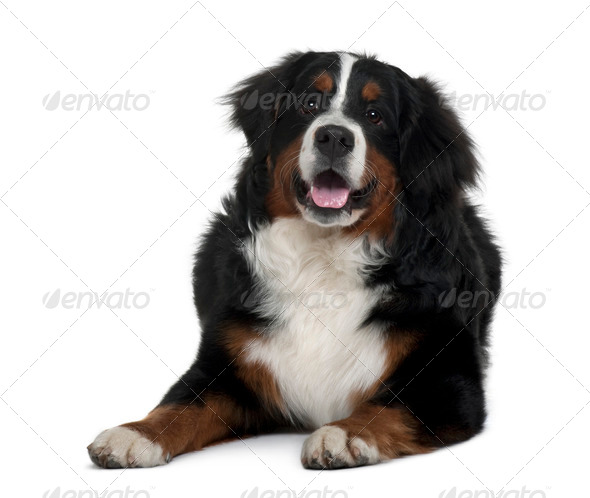 Bernese mountain dog, 7 months old, sitting in front of white background - Stock Photo - Images