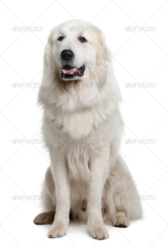Great Pyrenees or Pyrenean Mountain Dog, 3 years old, sitting in front of white background - Stock Photo - Images