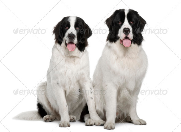 Black and white Landseer dogs, 9 and 19 months old, sitting in front of white background - Stock Photo - Images
