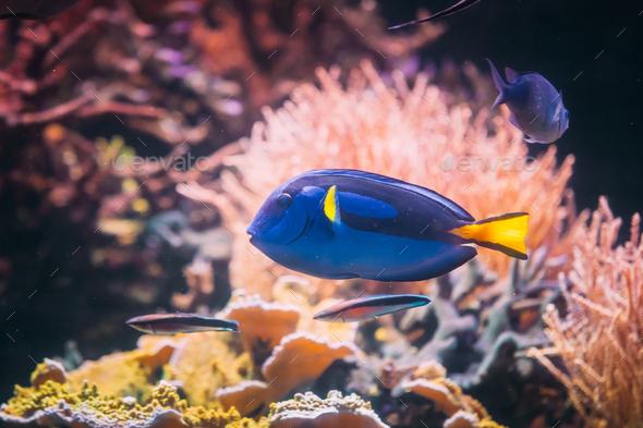 Blue Tang Fish Paracanthurus Hepatus Swimming In Water. Popular - Stock Photo - Images