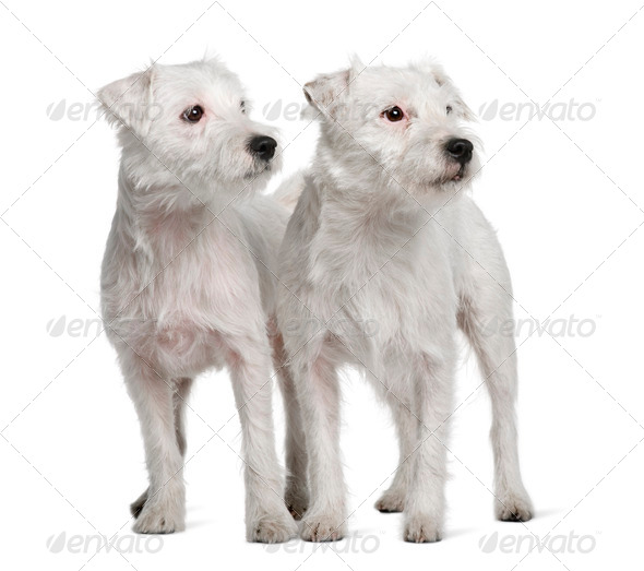 Two Parson Russell Terriers standing in front of white background - Stock Photo - Images