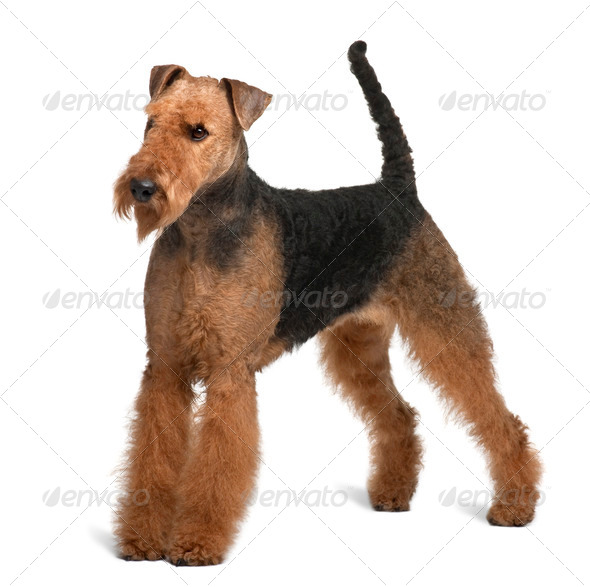 Airedale Terrier, 2 years old, standing in front of white background - Stock Photo - Images