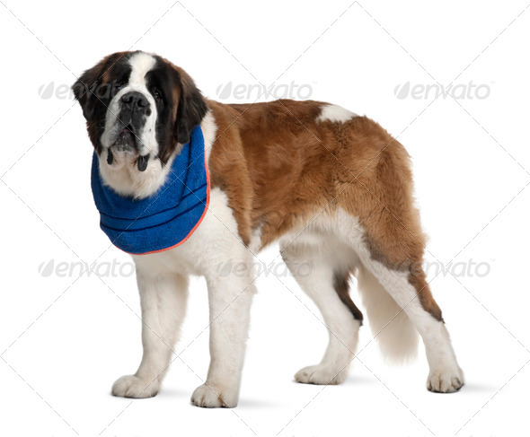 Saint Bernard standing in front of white background, studio shot - Stock Photo - Images