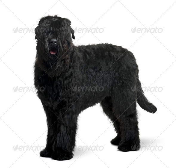 Black Russian Terrier, 15 months old, standing in front of white background - Stock Photo - Images