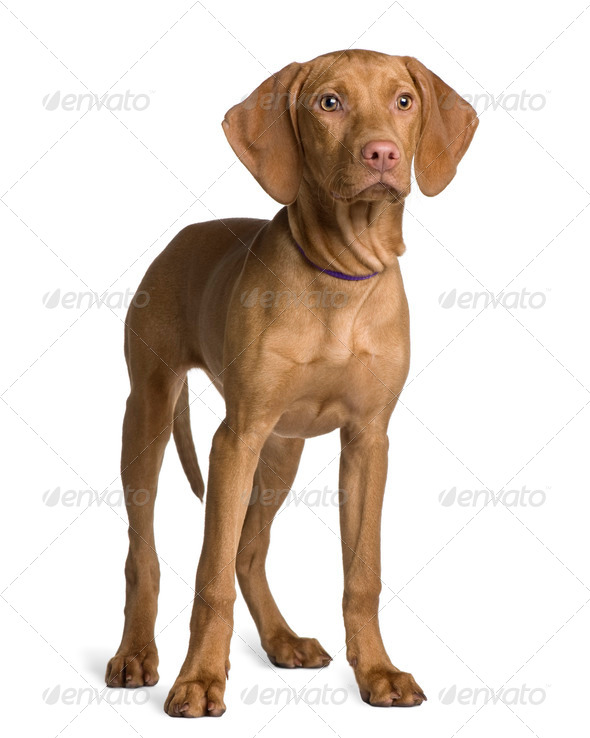 Vizsla dog puppy, 4 months old, standing in front of white background - Stock Photo - Images