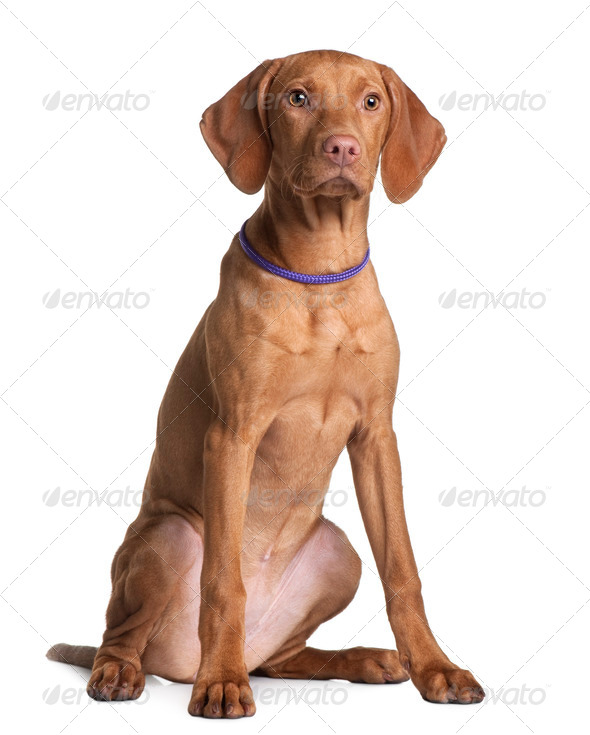 Vizsla dog puppy, 4 months old, sitting in front of white background - Stock Photo - Images