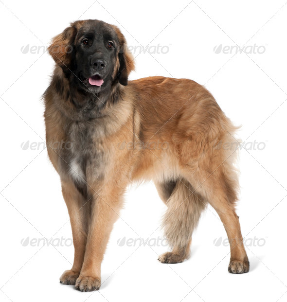 Leonberger dog, 10 months old, standing in front of white background - Stock Photo - Images