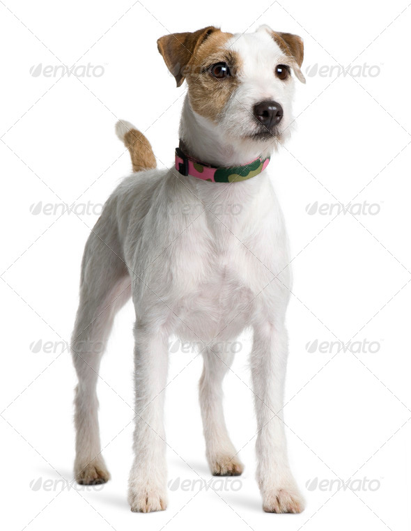 Parson Russell Terrier, 2 years old, standing in front of white background - Stock Photo - Images